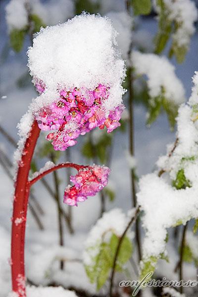 Blomma med snö
